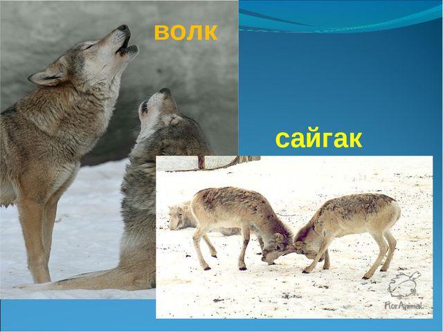 сайгак волк