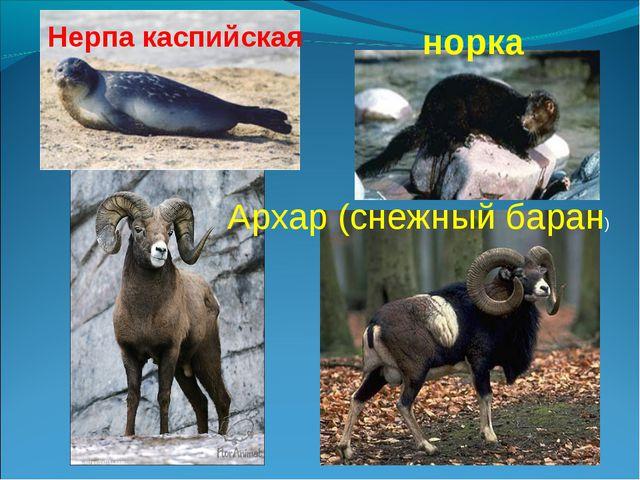 Нерпа каспийская норка Архар (снежный баран)