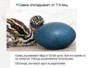 Самка откладывает от 7-8 яиц. Самец высиживает яйца от 53-60 суток. Всё это