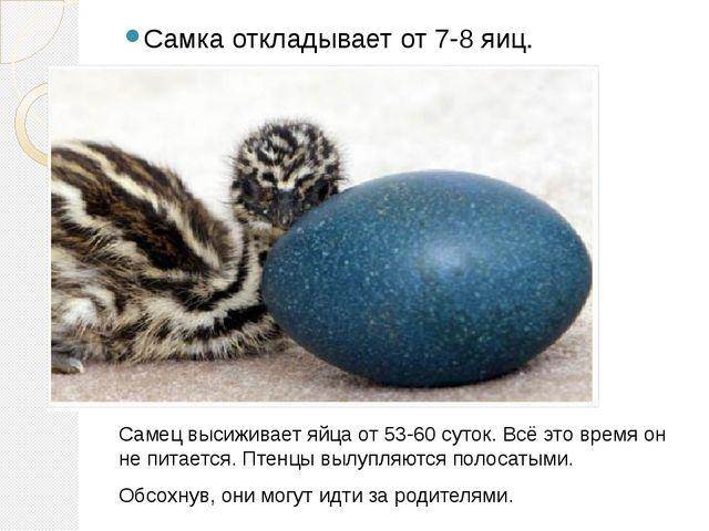 Самка откладывает от 7-8 яиц. Самец высиживает яйца от 53-60 суток. Всё это...