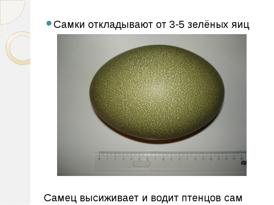Самки откладывают от 3-5 зелёных яиц Самец высиживает и водит птенцов сам