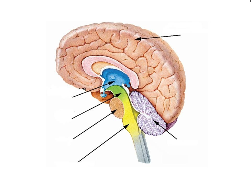 выбираем этот строение мозга человека картинка минималистичное оформление столовой