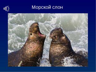Морской слон