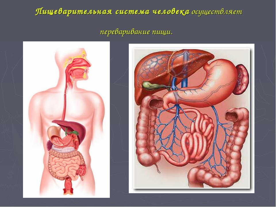 Пищеварительная система человекаосуществляет переваривание пищи.