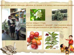 Дерево кофе цветет нежными цветками по форме и по запаху напоминающими жасми