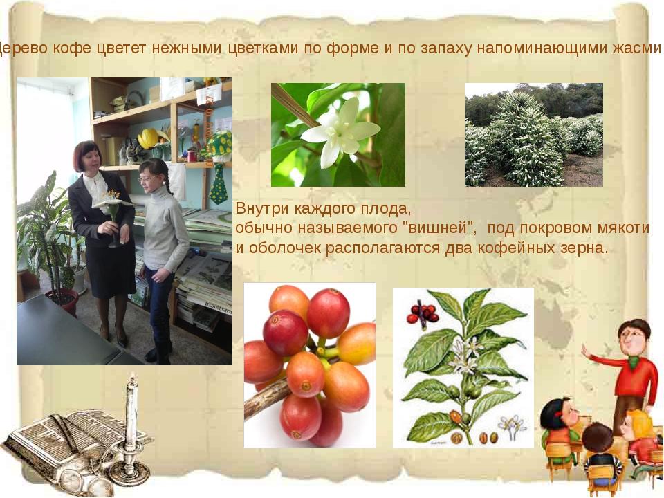 Дерево кофе цветет нежными цветками по форме и по запаху напоминающими жасми...