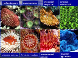грибной коралл протопалитоя курчавый этерактис зелёный звёздчатый ковровая ак