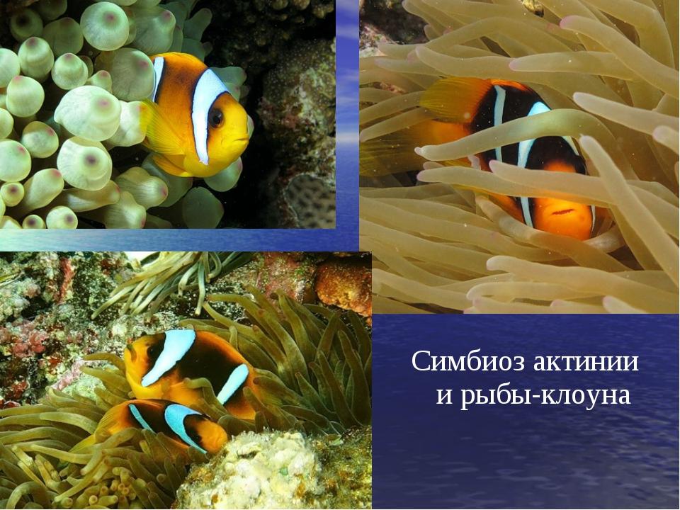Симбиоз актинии и рыбы-клоуна