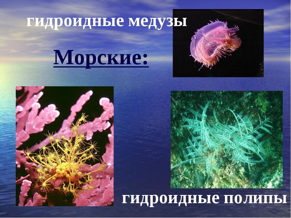 гидроидные медузы гидроидные полипы Морские: