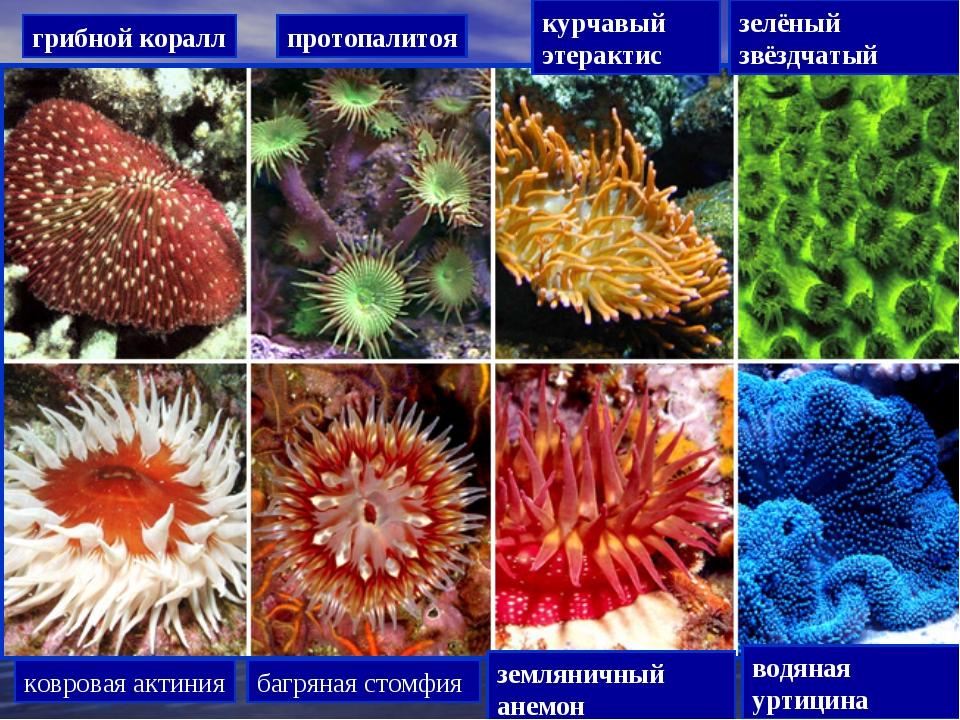 грибной коралл протопалитоя курчавый этерактис зелёный звёздчатый ковровая ак...