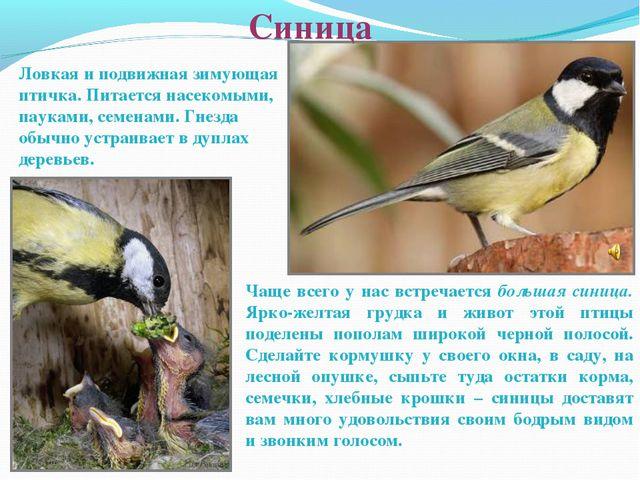 Синица Ловкая и подвижная зимующая птичка. Питается насекомыми, пауками, семе...