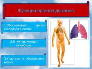 Функции органов дыхания. 1.Обеспечивают приток кислорода в легкие. 2.В них п
