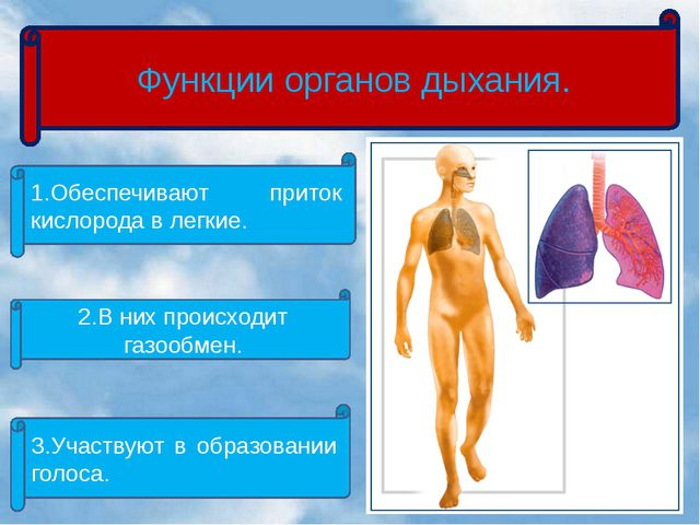Функции органов дыхания. 1.Обеспечивают приток кислорода в легкие. 2.В них п...
