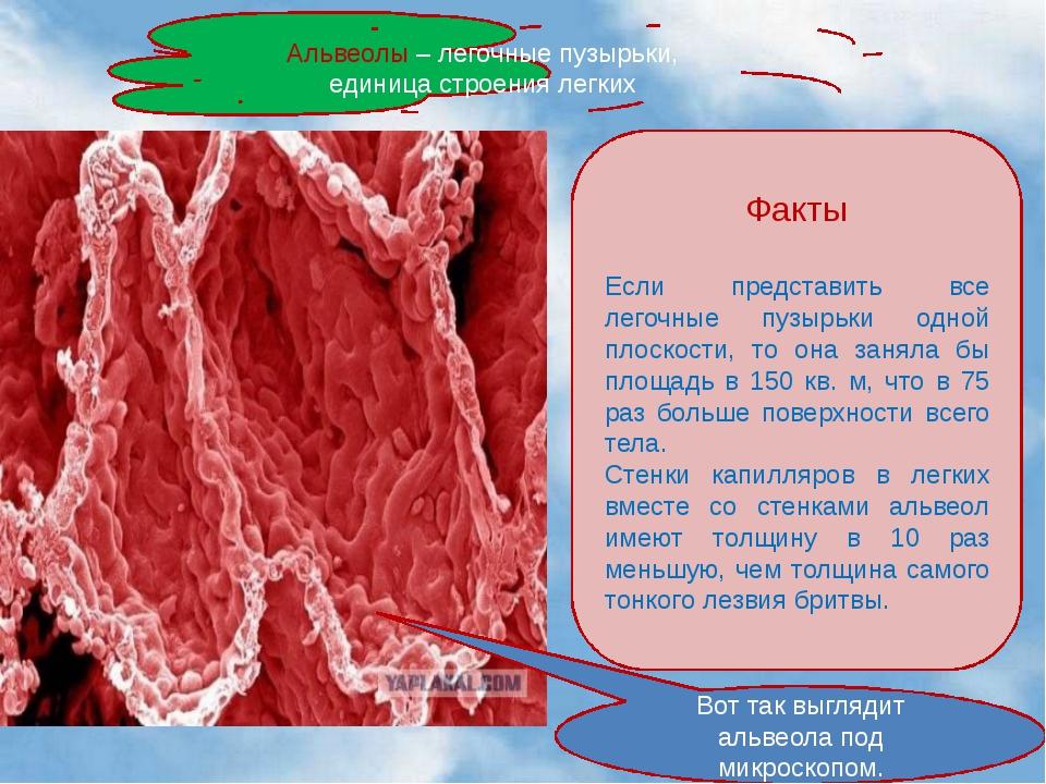 Альвеолы – легочные пузырьки, единица строения легких Вот так выглядит альве...