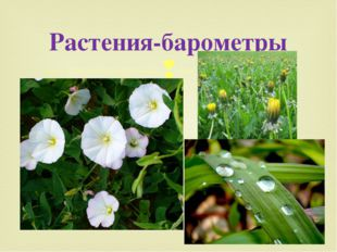 Растения-барометры 