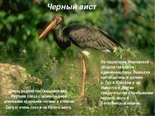 Черный аист Очень редкий гнездящийся вид. Крупная птица с длинной шеей, длинн