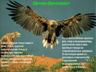 Орлан-белохвост Самая крупная птица нашего края. Очень крупная ширококрылая п