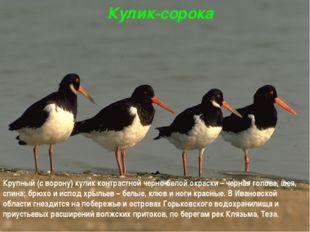 Кулик-сорока Крупный (с ворону) кулик контрастной черно-белой окраски – черна