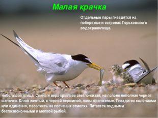 Малая крачка Небольшая птица. Спина и верх крыльев светло-сизая, на голове не