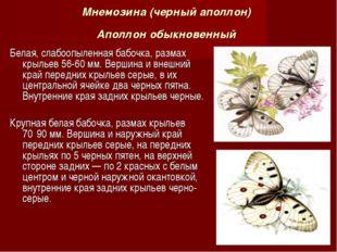 Мнемозина (черный аполлон) Аполлон обыкновенный Белая, слабоопыленная бабочка