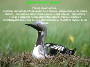 Чернозобая гагара Редкий пролетный вид. Довольно крупная водоплавающая птица