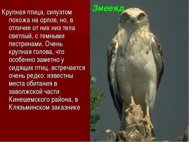 Крупная птица, силуэтом похожа на орлов, но, в отличие от них низ тела светлы...