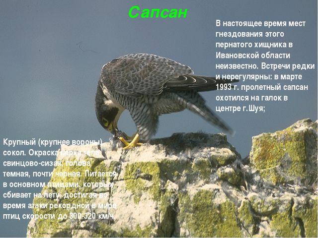 Сапсан Крупный (крупнее вороны) сокол. Окраска верха тела свинцово-сизая, гол...