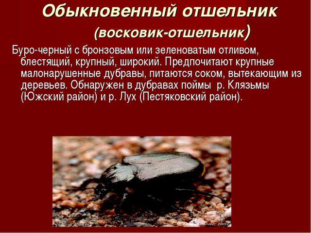 Обыкновенный отшельник (восковик-отшельник) Буро-черный с бронзовым или зелен...