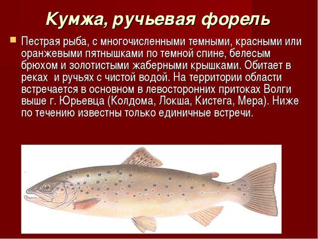 Кумжа, ручьевая форель Пестрая рыба, с многочисленными темными, красными или...