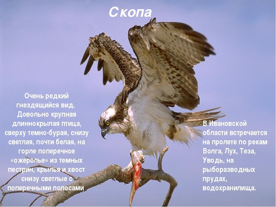 Скопа Очень редкий гнездящийся вид. Довольно крупная длиннокрылая птица, свер...
