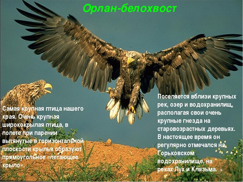 Орлан-белохвост Самая крупная птица нашего края. Очень крупная ширококрылая п...