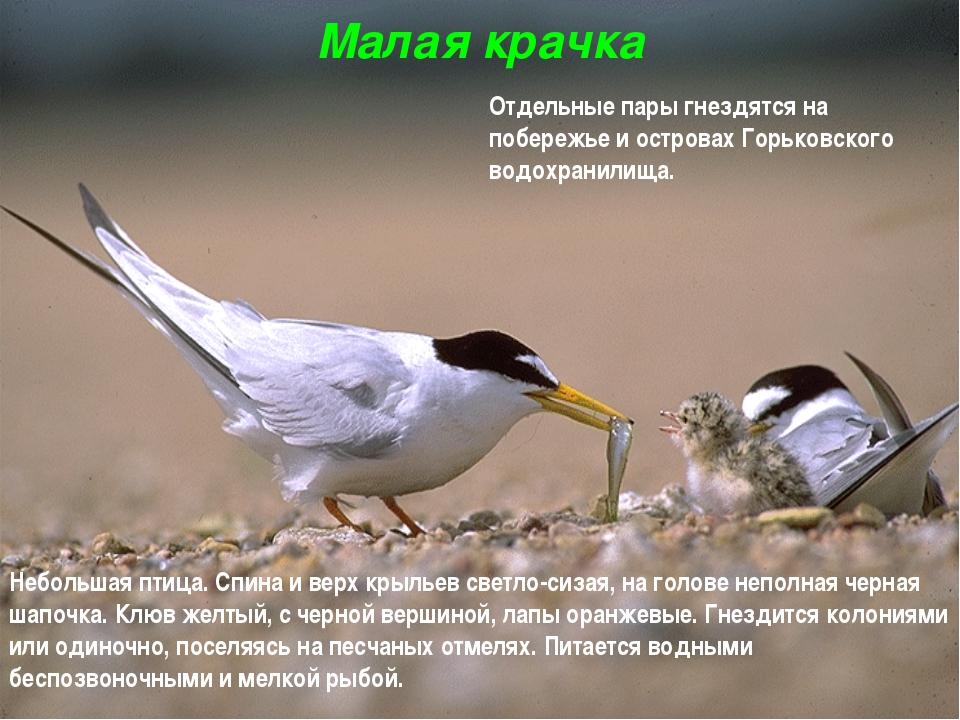 Малая крачка Небольшая птица. Спина и верх крыльев светло-сизая, на голове не...
