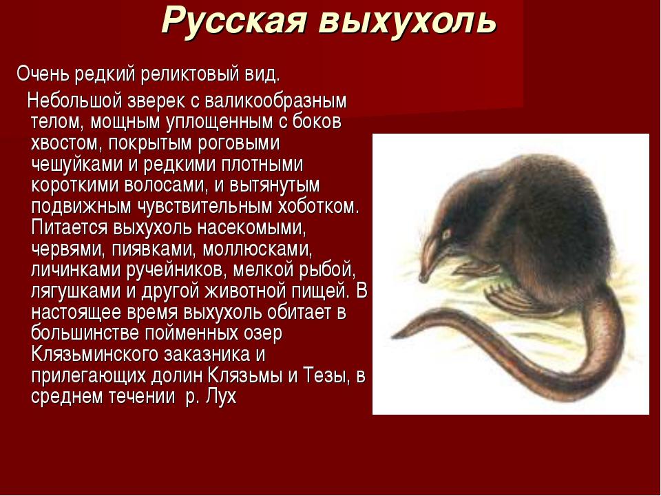 Русская выхухоль Очень редкий реликтовый вид. Небольшой зверек с валикообразн...