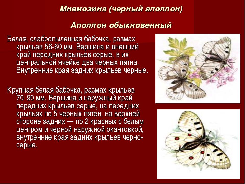 Мнемозина (черный аполлон) Аполлон обыкновенный Белая, слабоопыленная бабочка...