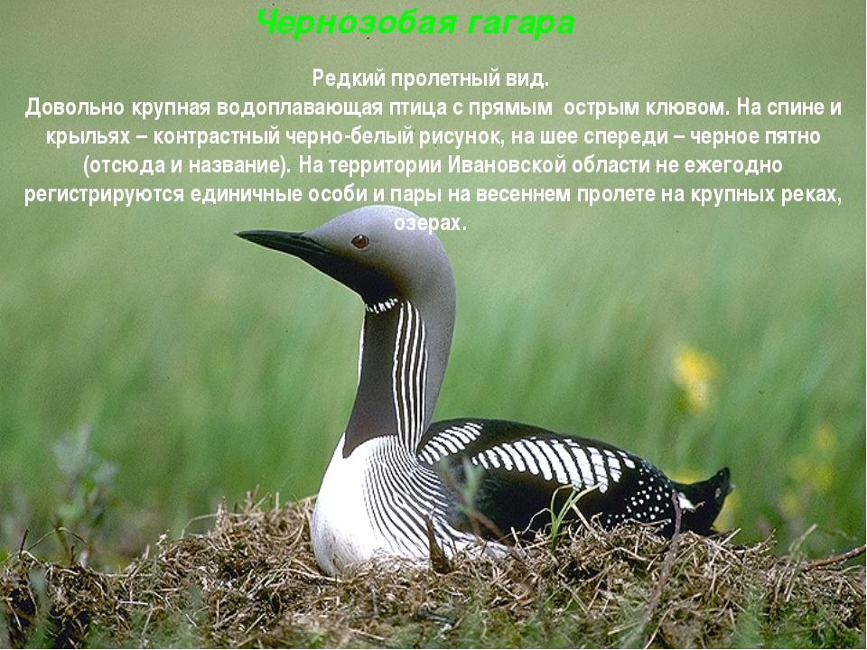 Чернозобая гагара Редкий пролетный вид. Довольно крупная водоплавающая птица...