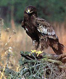 Подорлик малый (Aquila pomarina) / Наша-Природа.рф