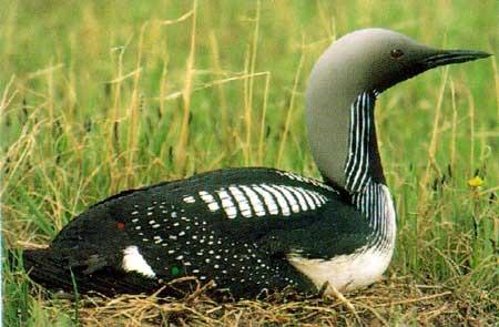 Что за полосатая птица спряталась в засаде? вид?ареал? MOREBIRDS.RU