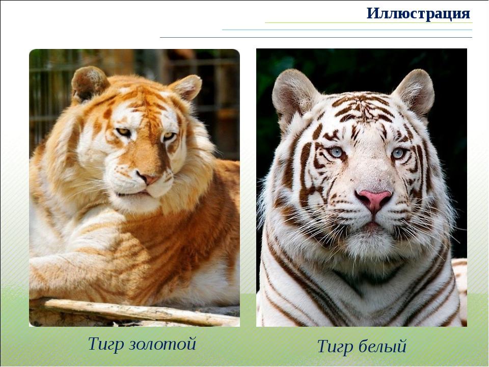 Тигр золотой Тигр белый Иллюстрация