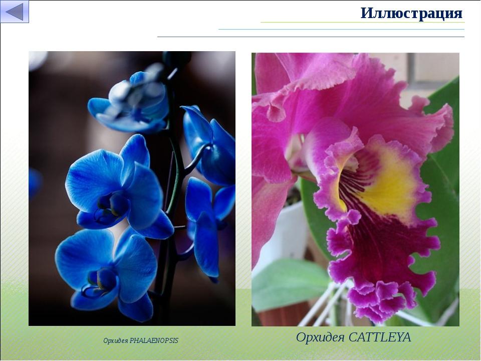 Орхидея PHALAENOPSIS Орхидея CATTLEYA Иллюстрация