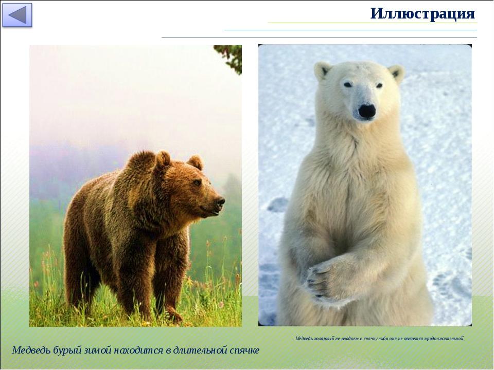 Медведь бурый зимой находится в длительной спячке Медведь полярный не впадает...