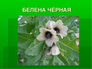 БЕЛЕНА ЧЁРНАЯ