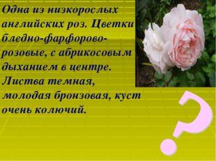 Одна из низкорослых английских роз. Цветки бледно-фарфорово-розовые, с абрико