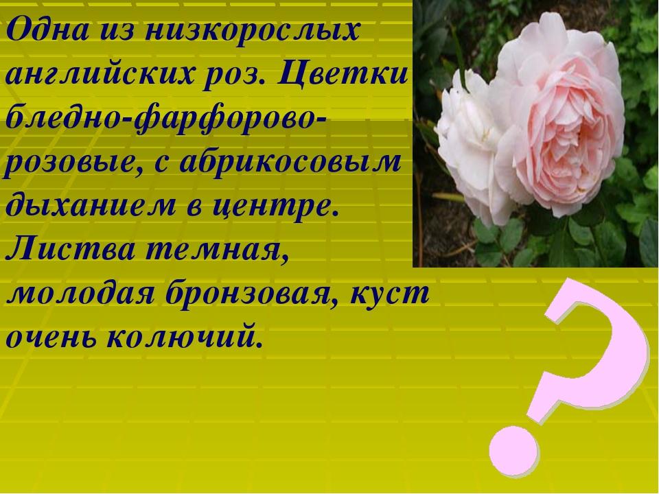 Одна из низкорослых английских роз. Цветки бледно-фарфорово-розовые, с абрико...