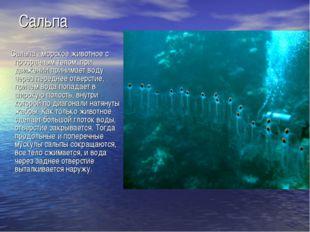 Сальпа Сальпа - морское животное с прозрачным телом, при движении принимает в