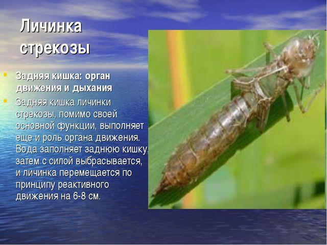 Личинка стрекозы Задняя кишка: орган движения и дыхания Задняя кишка личинки...