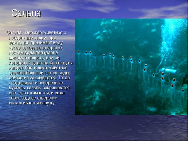 Сальпа Сальпа - морское животное с прозрачным телом, при движении принимает в...
