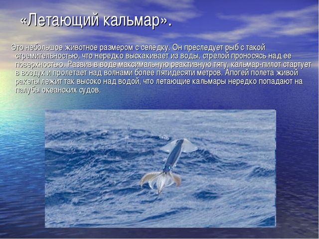 «Летающий кальмар». Это небольшое животное размером с селедку. Он преследует...