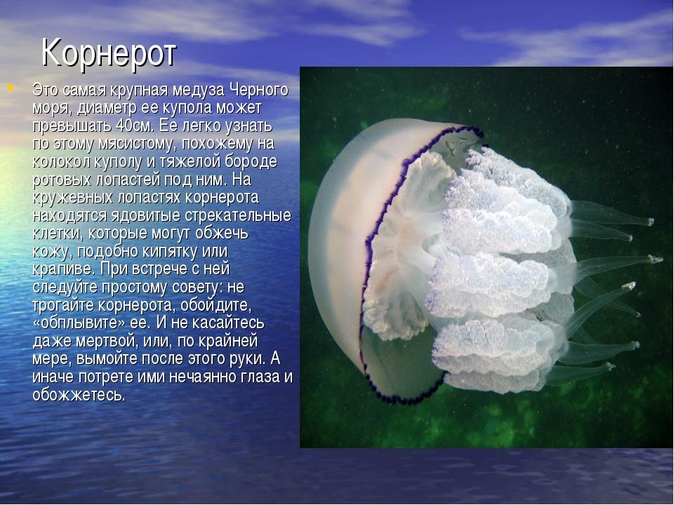 Корнерот Это самая крупная медуза Черного моря, диаметр ее купола может превы...