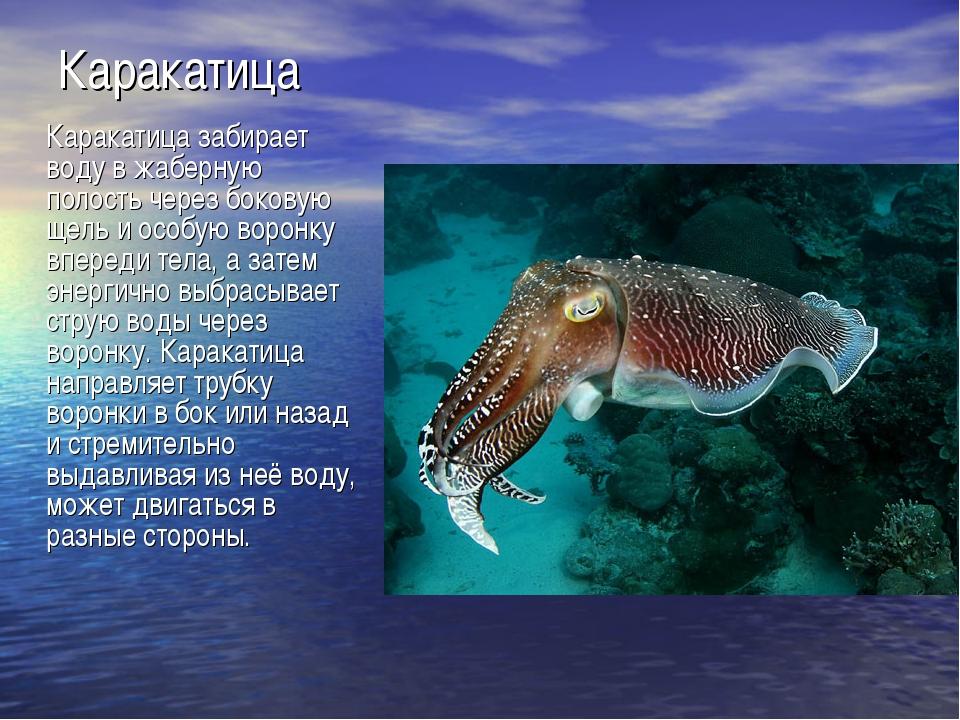 Каракатица Каракатица забирает воду в жаберную полость через боковую щель и о...