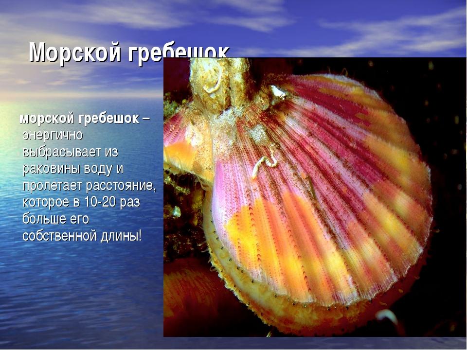 Морской гребешок морской гребешок– энергично выбрасывает из раковины воду и...